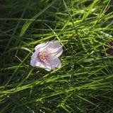 Sakura delicate flower in a grass. Spring. Royalty Free Stock Image