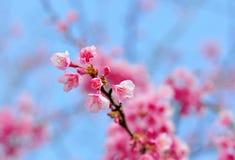 Sakura dentella il fiore in ChaingMai, Tailandia (fiore di ciliegia) Fotografia Stock