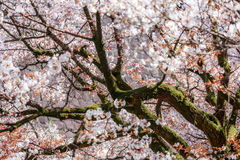 Sakura in der Blüte Stockfotografie