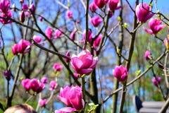 Sakura in der Blüte Frühling schönheit lizenzfreies stockbild