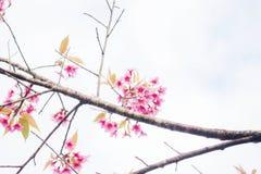 Sakura des brances Photos stock