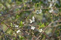 Sakura di fioritura immagine stock libera da diritti