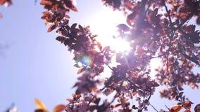 Sakura di fioritura bello e luce solare, primo piano stock footage