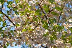 Sakura di fioritura contro il cielo blu Fotografia Stock