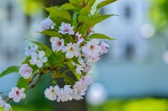 Sakura di fioritura rosa su un fondo tenue fotografia stock