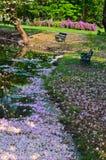 Sakura die in de stroom drijft Royalty-vrije Stock Foto's