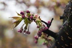 Sakura dopo pioggia, l'albero di fioritura con i fiori rosa innaffia le goccioline dopo pioggia, la molla, fondo immagine stock libera da diritti