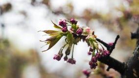 Sakura dopo pioggia, l'albero di fioritura con i fiori rosa innaffia le goccioline dopo pioggia, la molla, fondo fotografie stock libere da diritti