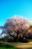 Sakura with dreamy effect #4. Scenery of cherry blossom trees during spring 2015 at Kawagoe  in Japan,with soft dreamy effect Stock Photos