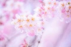 Sakura 2014 with dreamy effect Stock Images