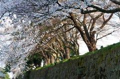 Sakura drzewny kwiat nad małym kanałem przy Kanazawa kasztelem Zdjęcia Royalty Free