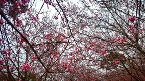 Sakura drzewo Obraz Stock