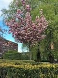 Sakura drzewo w Oslo Obraz Stock