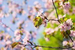 sakura drzewo w pełnym kwiacie Zdjęcie Royalty Free