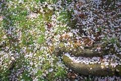 Sakura dywan Zdjęcie Royalty Free
