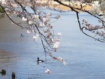 Sakura e lago Immagine Stock