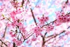 Sakura eller för körsbärsröd blomning blommor som blommar mycket Arkivfoto