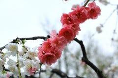 Sakura eller för körsbärsröd blomning förgrund och suddig bakgrundssolf fotografering för bildbyråer