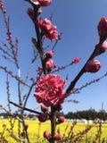 Sakura eller körsbärsröd blomning i Korea arkivfoton