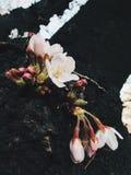 Sakura em japão Fotos de Stock