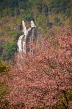 Sakura em Tailândia Fotos de Stock