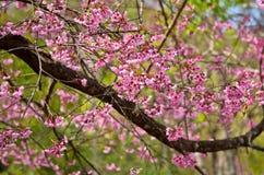 Sakura em Tailândia Imagem de Stock
