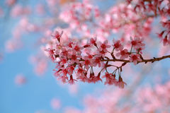 Sakura em Tailândia imagens de stock royalty free