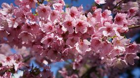 Sakura em Taiwan Imagens de Stock
