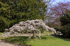 Sakura em um parque Fotos de Stock Royalty Free