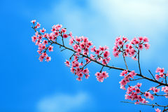 Sakura en cielo azul Imágenes de archivo libres de regalías