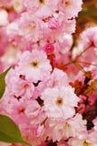Sakura en flor Imagen de archivo