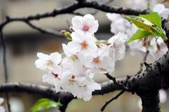 Sakura en flor lleno Imagenes de archivo