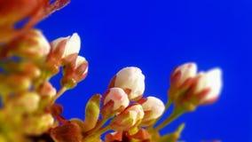 Sakura en foco suave almacen de metraje de vídeo