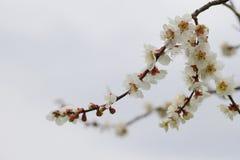 Sakura en Japón imagenes de archivo