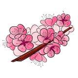 Sakura En krökt filial med delikata blommor och körsbäret slår ut Arkivfoton