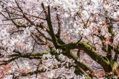 Sakura en la floración Fotografía de archivo