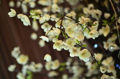 Sakura en la floración Imagen de archivo