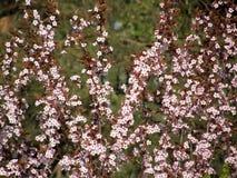 Sakura en la primavera Foto de archivo libre de regalías