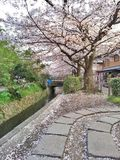 Sakura en la trayectoria del filósofo Foto de archivo libre de regalías
