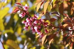 Sakura en tailandés Imágenes de archivo libres de regalías