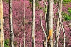 Sakura en Tailandia Imagenes de archivo