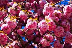 Sakura está florescendo foto de stock