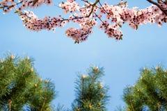 Sakura and evergreen tree on the background of blue skies. stock image