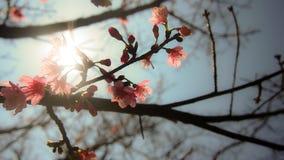 Sakura för blomning för solinställning rosa blommor arkivfoto