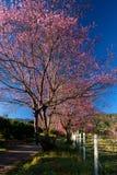 Sakura för körsbärsröd blomning blommor Arkivfoto