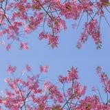 Sakura för körsbärsröd blomning eller rosa färgblomma mot blå himmel Arkivfoton