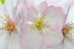 Sakura, the famouse flower of Japan Royalty Free Stock Image