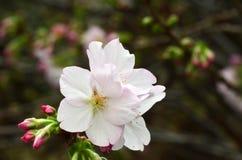 Sakura, the famouse flower of Japan Stock Photos