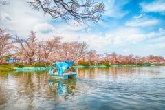 Sakura festival för körsbärsröd blomning Royaltyfria Foton