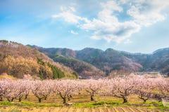 Sakura festival för körsbärsröd blomning Arkivbilder